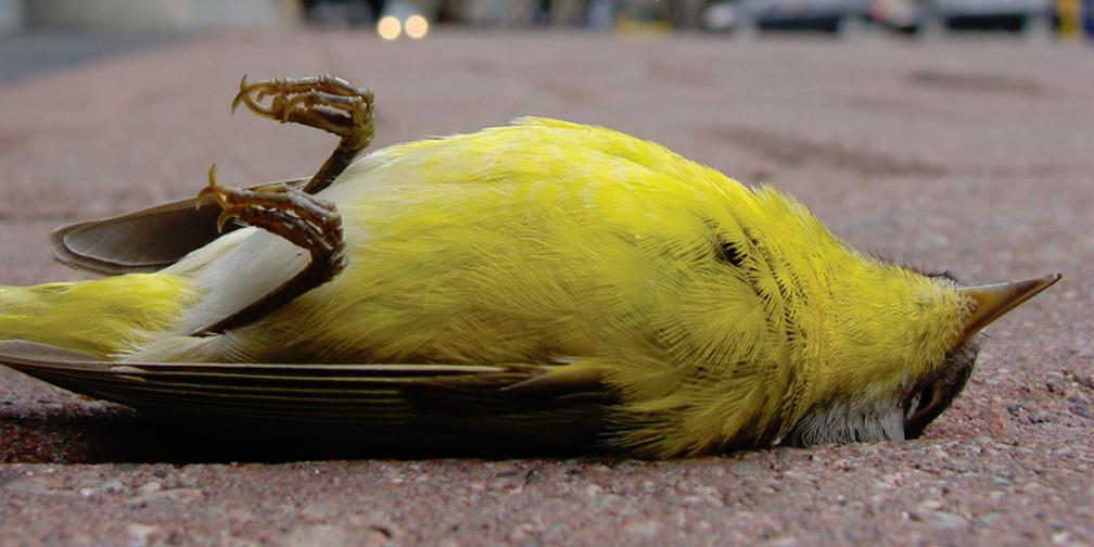 dead bird killed by window collision