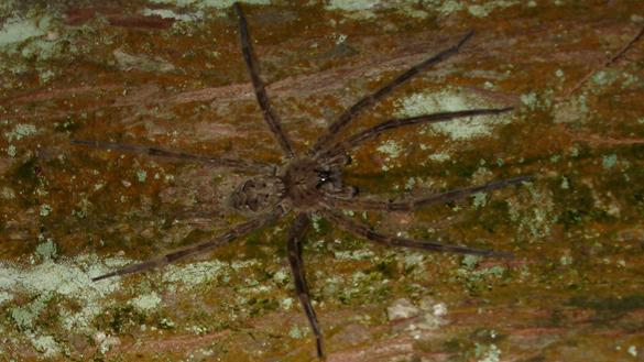 Brownish-grey fishing spider