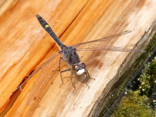Dragonfly and Damselfly Guide - ON Nature Magazine