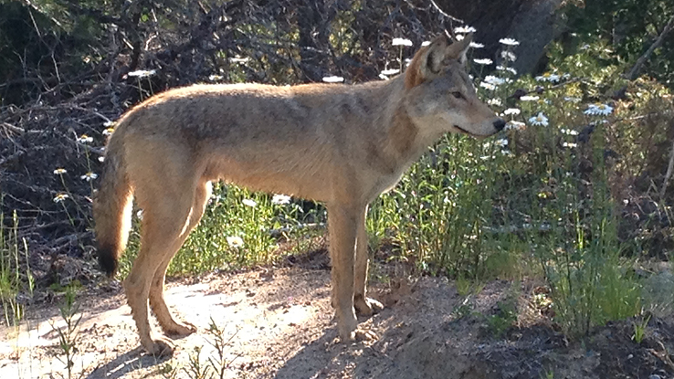 Eastern Wolf