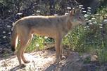 Eastern wolf Georgian Bay John Hassell_thumbnail