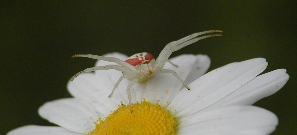 Goldenrod crab spider on a white flower