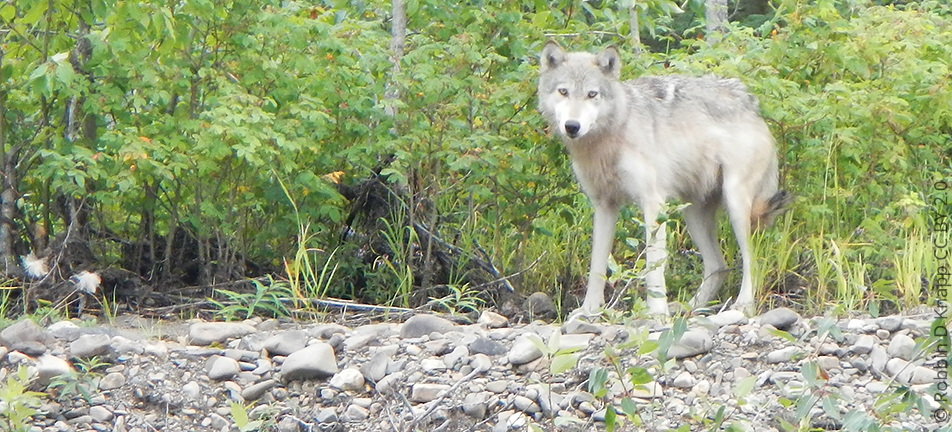 Gray wolf along riverbank