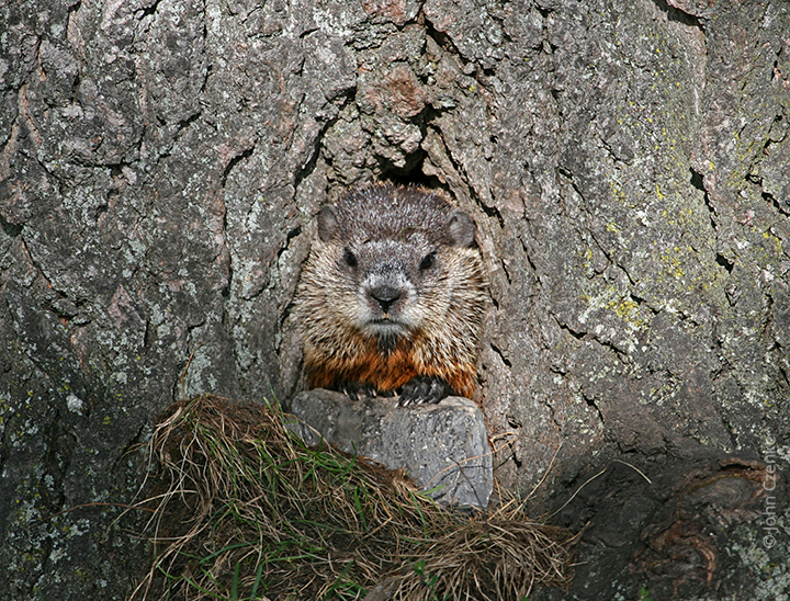 Groundhog in tree
