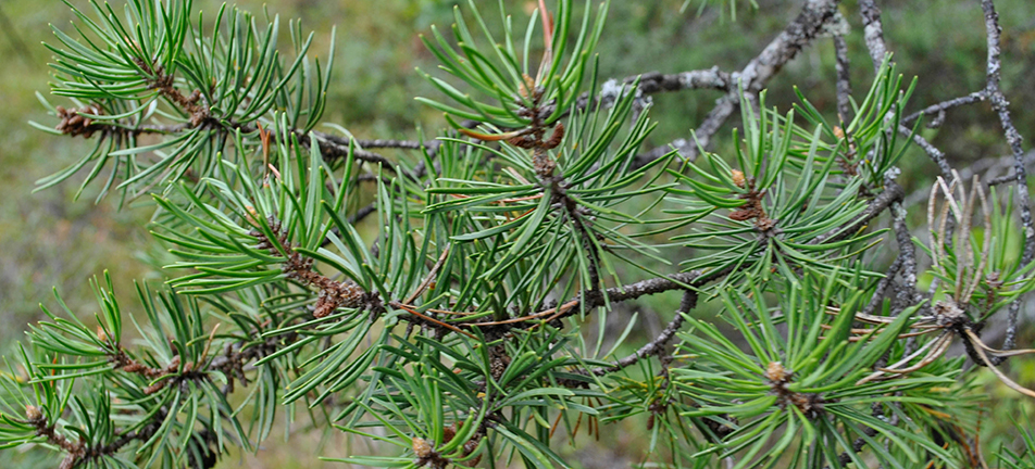 Jack pine needles and boughs