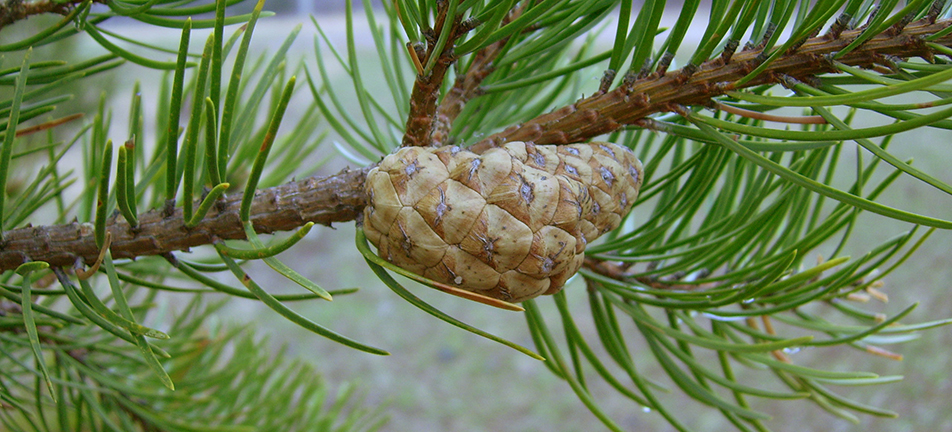 Jack pine cone on a branch
