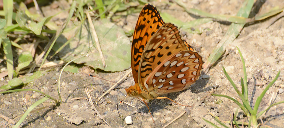 Great spangled fritillary butterfly puddling