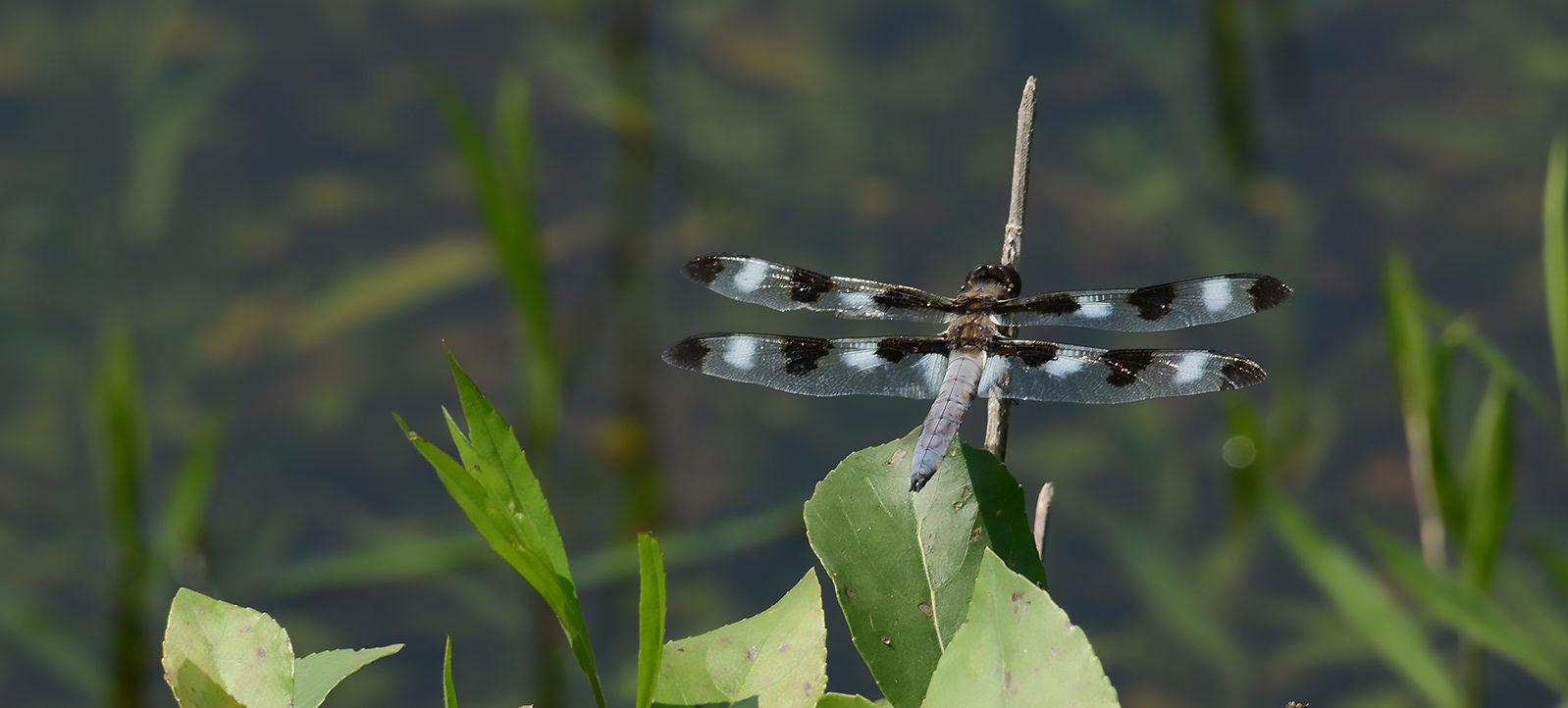 Twelve-spotted skimmer dragonfly at Kinghurst Forest Nature Reserve wetlands