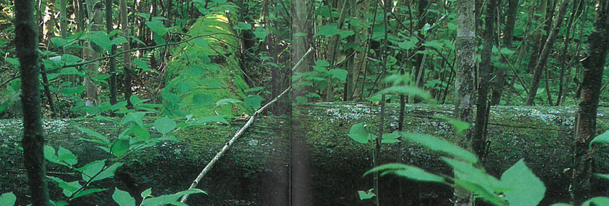 old growth forest, Last of the Giants, Seasons, Spring 1998