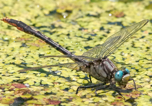 Male lilypad clubtail, Photo: Harry Adams, www.pursuitofpixels.com