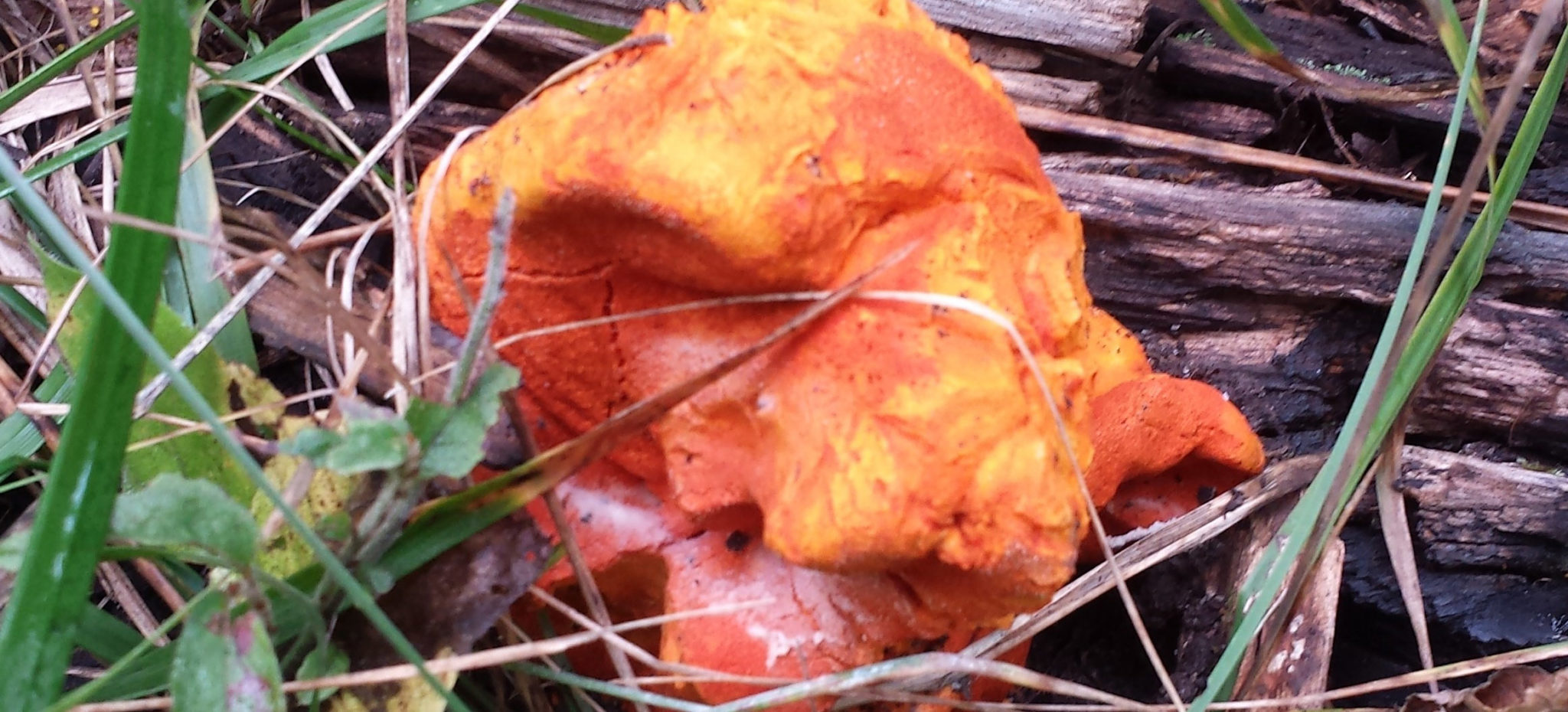 Lobster mushroom surrounded by foliage
