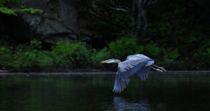 Great blue heron in flight, Swift Rapids Road area