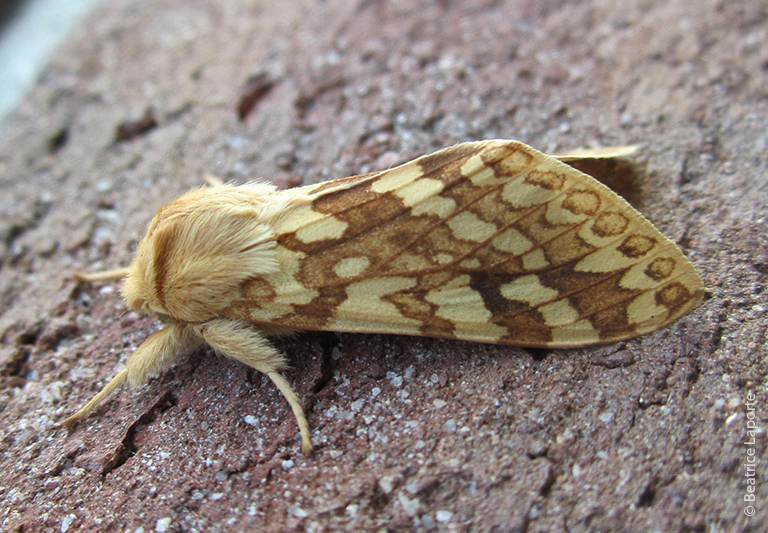 Spotted tussock moth moth