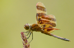 male Halloween pennant, credit: Noah Cole