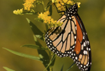 Monarch butterfly on goldenrod flowers.