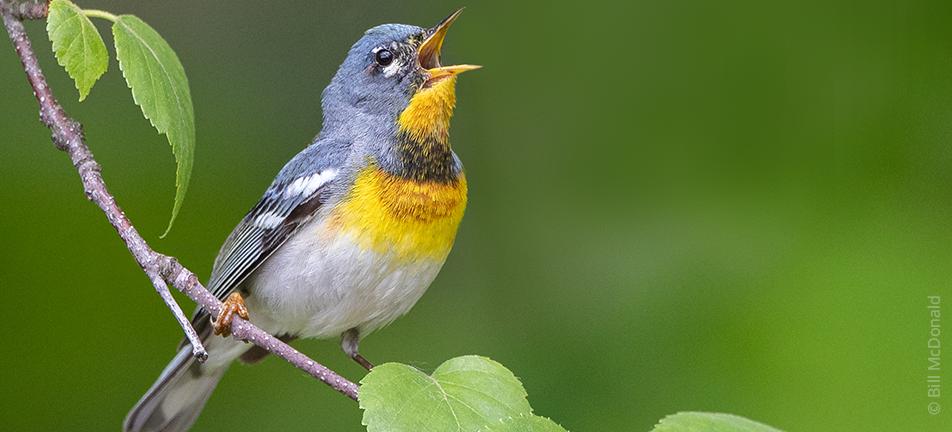 vibrant Northern parula warbler singing
