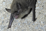 northern long-eared bat, photo credit: Sybill Amelon (USFS) CC BY 2.0