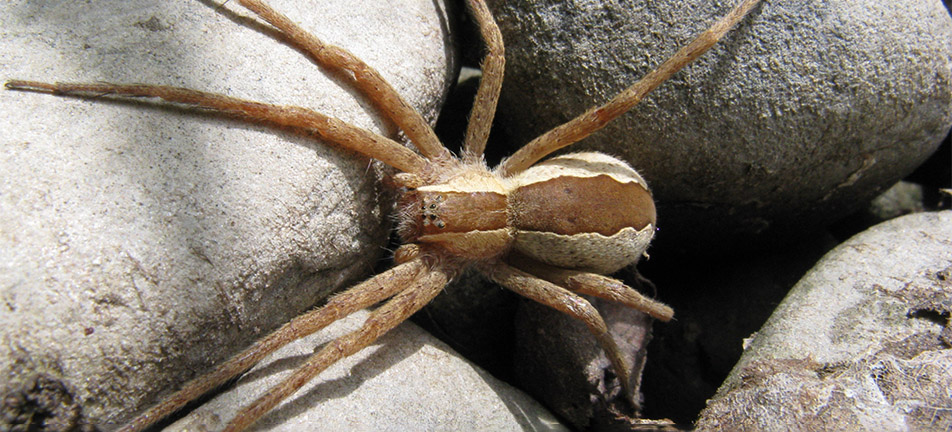 Nursery web spider on gray rocks