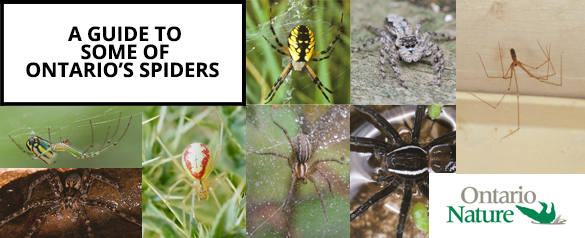 Online Spider Guide banner by Ontario Nature