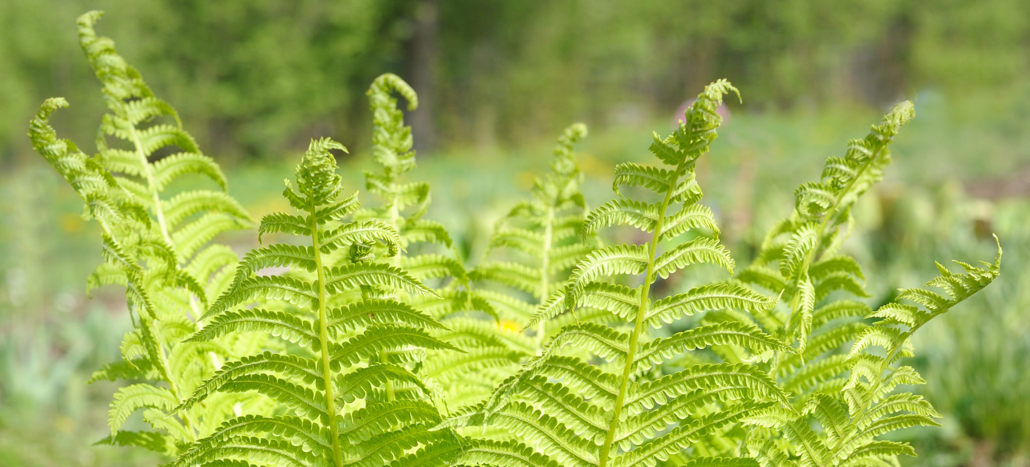 Young plant ostrich fern in the spring