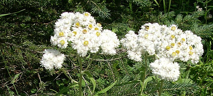 A group of white pearly everlasting flowers