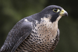 Stationary Peregrine Falcon