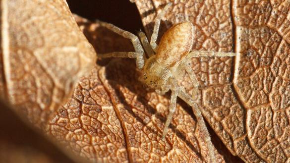 Running crab spider, <a href=