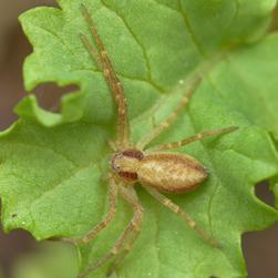 Running crab spider, Credit: Ryan Hodnett CC BY-NC-SA 2.0
