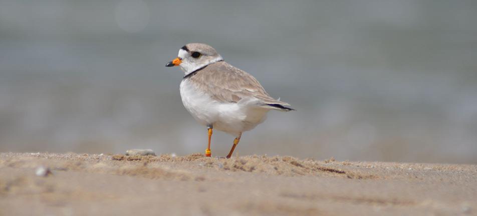 Piping plover, shorebirds, endangered, species at risk, at risk