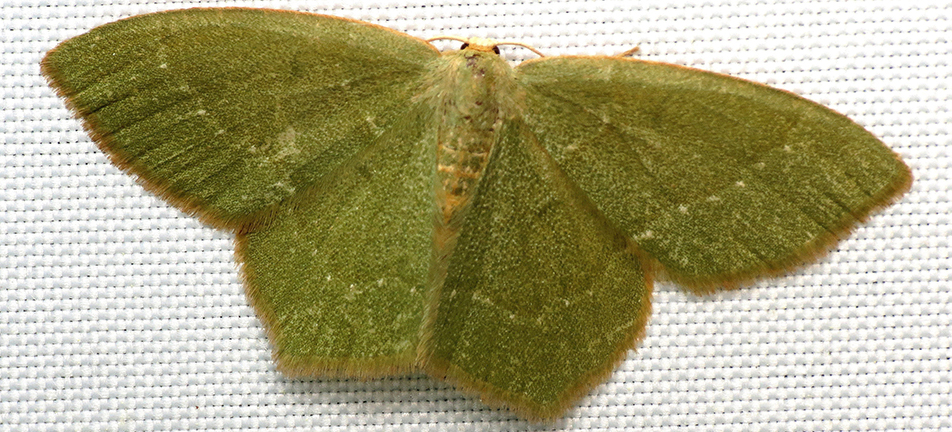 Pistachio emerald moth