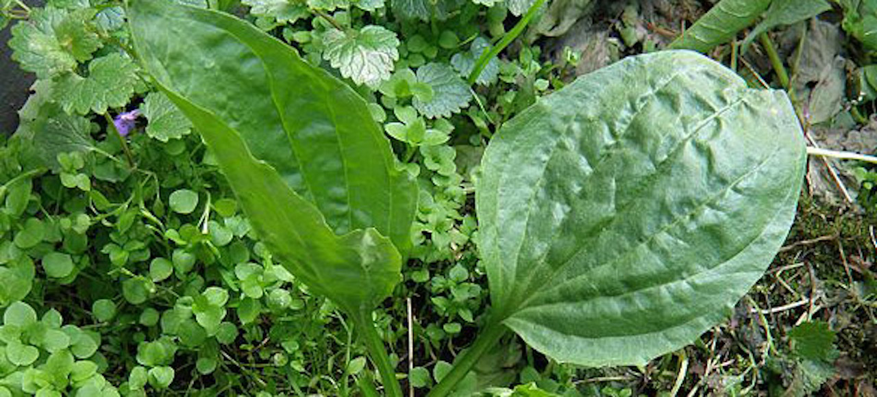 Green common plantain leaves