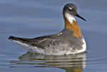 Red-necked_Phalarope_attribute_noncommercial_sharealike_Mark_Peck_CC_BY-NC-SA_2_thumbnail