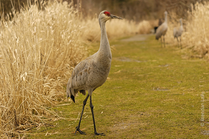 Sandhill cranes in a marsh