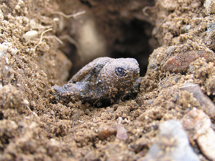 Hatchling snapping turtle emerging