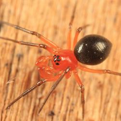 Splendid dwarf spider, Credit: Tom Murray CC BY-NC-ND 2.0