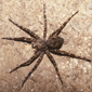 striped-fishing-dock-spider-dolomedes-scriptus-dan-schneider_button