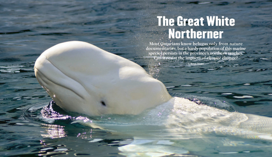 The Great White Northerner, TOC spread, Winter 2019 ON Nature