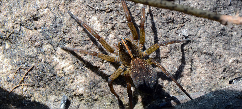 Tigrosa helluo spider on a rock