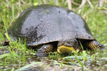 Tracy_Parker_Blanding's_turtle_6381_thumbnail