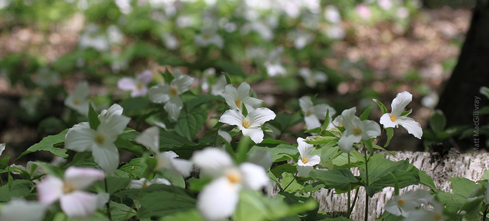 Trilliums carpeting the forest