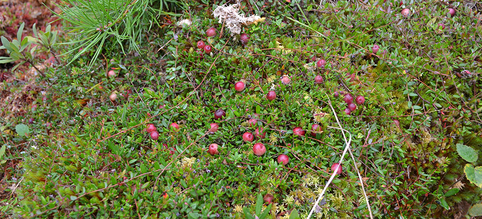 Far away shot of red cranberries on branches