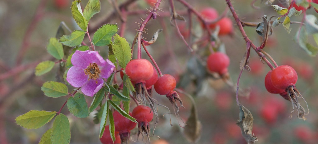 A prickly rose branch with a pink flower, red buds and small green leaves