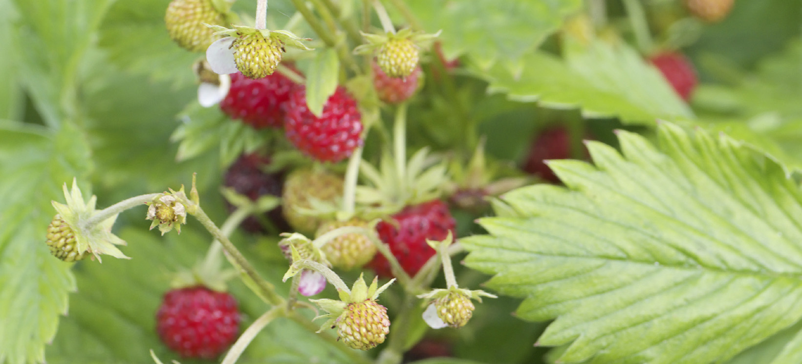 Close up picture of wild strawberries