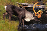 Woodland_Caribou_Ontario_Nature_thumbnail