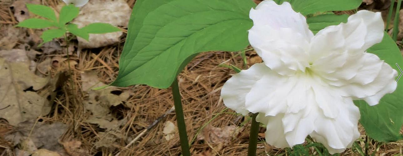 Double trillium flower
