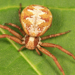 Ground Crab Spider (Xysticus spp.)