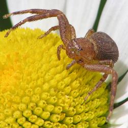 Ground crab spider sp., Credit: Peter Ferguson