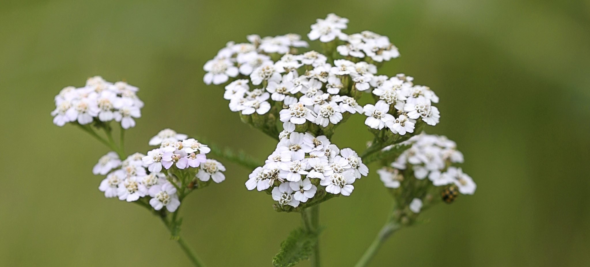white common yarrow flowers over a blurry background of leaves