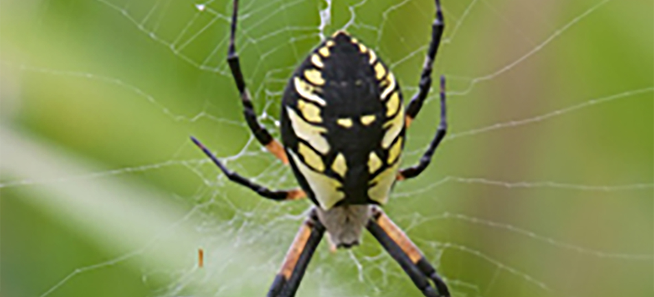 Yellow garden spider hanging from its web