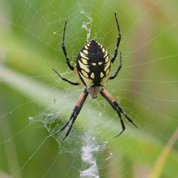 Yellow garden spider, Credit: John Reaume